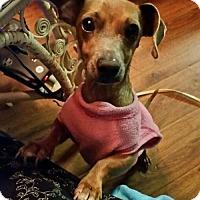 Adopt A Pet :: Petey - Pearland, TX