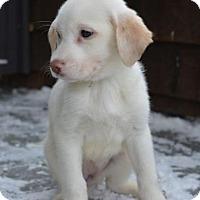Adopt A Pet :: Lacey - Danbury, CT