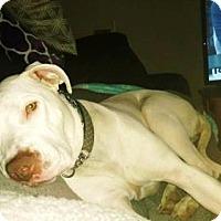 Pit Bull Terrier/American Pit Bull Terrier Mix Dog for adoption in Omaha, Nebraska - Asia