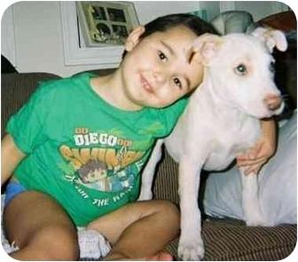 American Pit Bull Terrier Dog for adoption in Mesa, Arizona - Bonzai