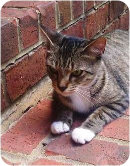 Domestic Shorthair Cat for adoption in Nolensville, Tennessee - Boots