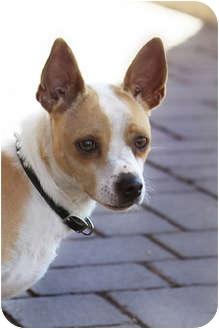 Chihuahua Mix Dog for adoption in phoenix, Arizona - Dingo