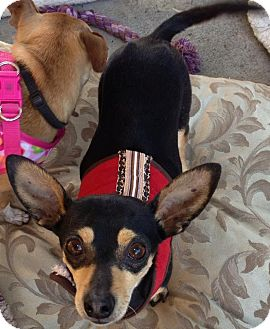 Chihuahua Mix Dog for adoption in San Diego, California - River