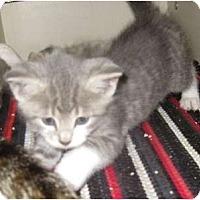 Adopt A Pet :: Little Warrior - Dallas, TX