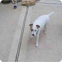 Adopt A Pet :: Lily Bug in Houston - Houston, TX