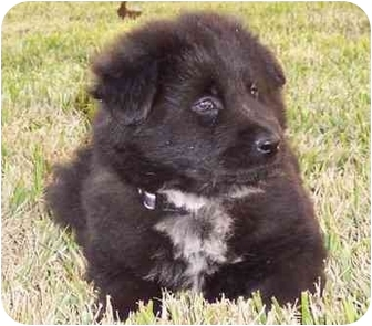 Black Chow Chow Mix