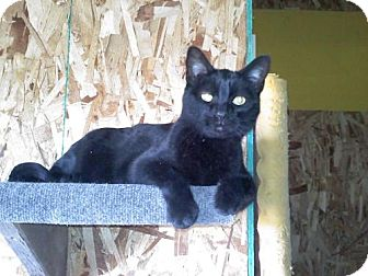 Domestic Shorthair Cat for adoption in Kyle, South Dakota - Domino *Reduced adoption fee FIV positive kitty*