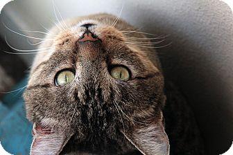 Domestic Shorthair Cat for adoption in St. Louis, Missouri - Luke Bryan