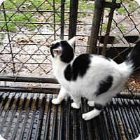 Domestic Shorthair Cat for adoption in millville, New Jersey - moe