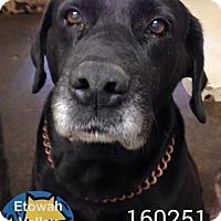 Labrador Retriever Dog for adoption in Severn, Maryland - Sirius