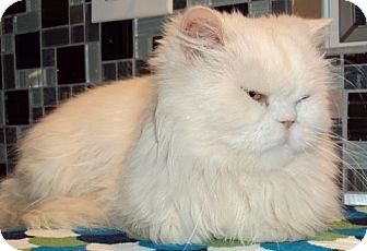 Persian Cat for adoption in Columbus, Ohio - Montecarlo