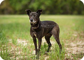 Labrador Retriever/Collie Mix Dog for adoption in Macon, Georgia - Daisy