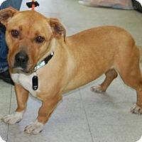 Adopt A Pet :: Shorty - Brooklyn, NY