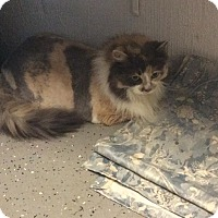 Domestic Longhair Cat for adoption in Tolland, Connecticut - Callie