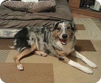 Australian Shepherd Dog for adoption in Greeley, Colorado - Bandit