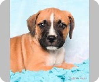 Boxer/Labrador Retriever Mix Puppy for adoption in Pittsboro, North Carolina - Gavin