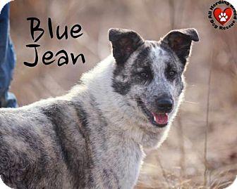 Australian Shepherd/Maremma Sheepdog Mix Dog for adoption in Joliet, Illinois - Blue Jean
