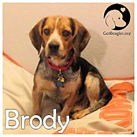 Adopt A Pet :: Brody - Novi, MI