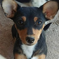 Adopt A Pet :: Precious - Las Vegas, NV
