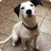Pointer Mix Dog for adoption in Joplin, Missouri - Jiminy 5259