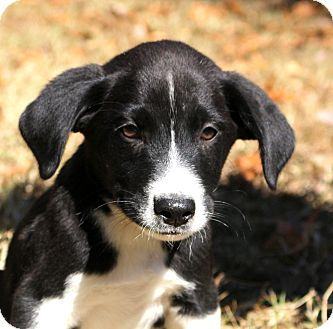 Border Collie/Labrador Retriever Mix Puppy for adoption in Glastonbury, Connecticut - Mako~adopted!