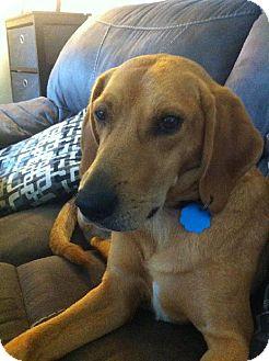 Labrador Retriever Mix Dog for adoption in Bellbrook, Ohio - Buddy