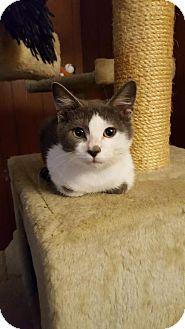 Domestic Shorthair Kitten for adoption in San Antonio, Texas - Beetle
