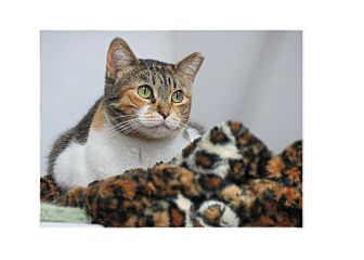 Domestic Shorthair Cat for adoption in San Carlos, California - Myrtle
