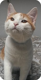 Domestic Shorthair Kitten for adoption in Dallas, Texas - SANFORD