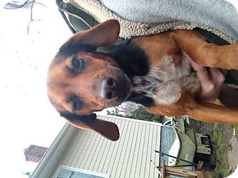 Beagle/Dachshund Mix Dog for adoption in selden, New York - Daisy