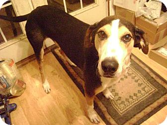 Treeing Walker Coonhound Mix Dog for adoption in Schererville, Indiana - Joey