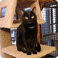 Domestic Shorthair Cat for adoption in Alamo, California - Caleb