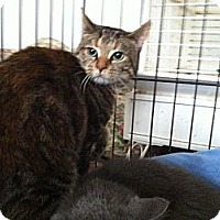 Domestic Shorthair Cat for adoption in Pittstown, New Jersey - Noel