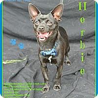 Adopt A Pet :: Herbie - Plano, TX