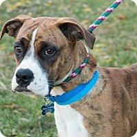 Adopt A Pet :: Sampson - Berkeley Heights, NJ