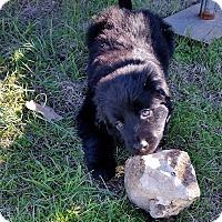 Adopt A Pet :: Dakota - Bedford, TX