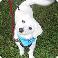 Adopt A Pet :: Bo - Tyrone, PA