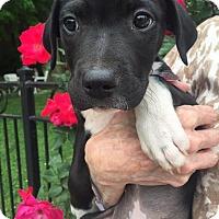 Adopt A Pet :: Veronica - Homewood, AL