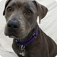 Staffordshire Bull Terrier Mix Dog for adoption in Springfield, Vermont - Maggie