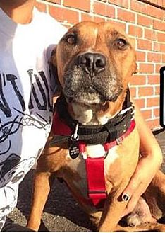 American Staffordshire Terrier Mix Dog for adoption in Los Angeles, California - Kiko