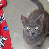 Domestic Shorthair Cat for adoption in Manteo, North Carolina - Scully