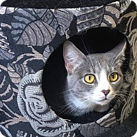 Domestic Shorthair Cat for adoption in Covington, Virginia - Elivia