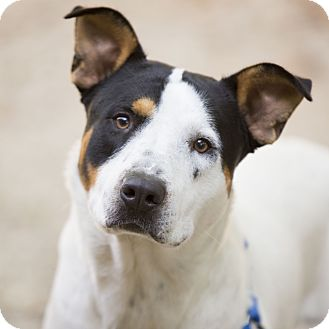 Australian Cattle Dog/Hound (Unknown Type) Mix Dog for adoption in Kettering, Ohio - Bronco