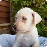 Adopt A Pet :: Alfalfa - Sacramento, CA