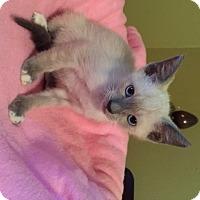 Adopt A Pet :: Shalimar - San Antonio, TX