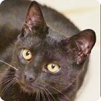 Adopt A Pet :: Midnight - Medford, MA