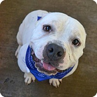 Adopt A Pet :: Meathead - McKinney, TX