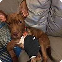 Pit Bull Terrier Mix Puppy for adoption in Pittsburgh, Pennsylvania - Redmon