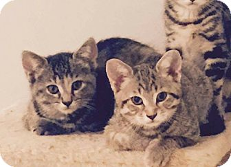Domestic Shorthair Cat for adoption in THORNHILL, Ontario - Senza (right)
