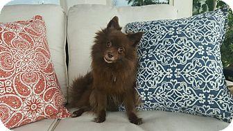 Pomeranian Dog for adoption in conroe, Texas - Tootsie